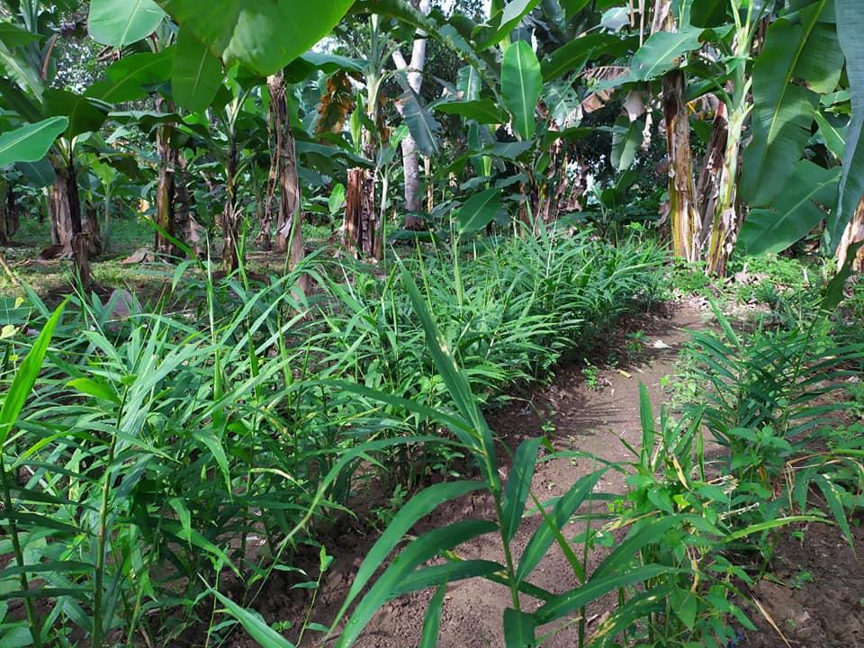 Menyiasati Kekurangan Hidup : Kebun dan Kios Pisang Zeze Zahra